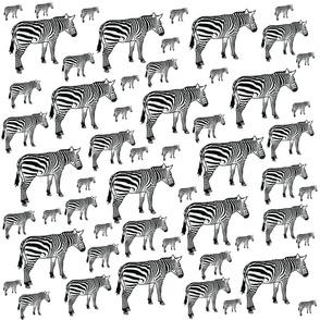Zebra Variety