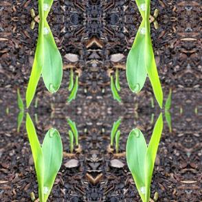 Fresh Growth Corn