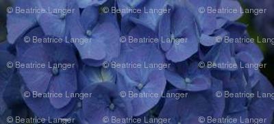 BlaueHortense