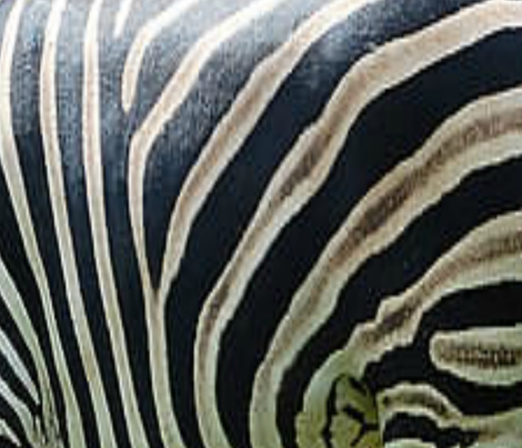 ZEBRA PRINT fabric by bluevelvet on Spoonflower - custom fabric