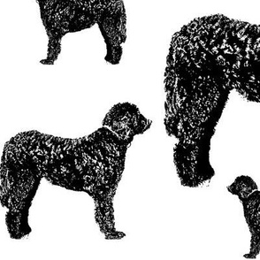 black bernadoodles