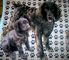 Rrboykin_spaniels_more_red_comment_262039_thumb