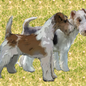 Wire Haired Fox Terriers