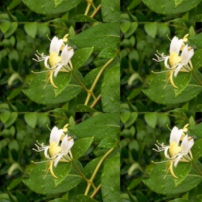 Honeysuckle on the Vine by Its-Time-Design