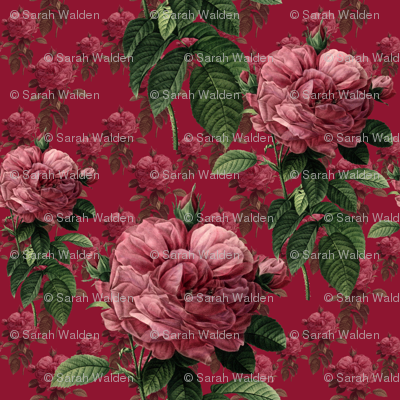 Redoute' Roses ~ Deep Rose