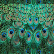 PEACOCK FEATHER PANELS