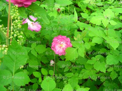 Wild Rosebushes