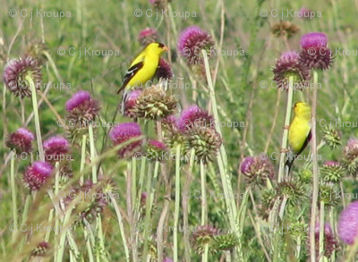 Goldfinches on Thistle
