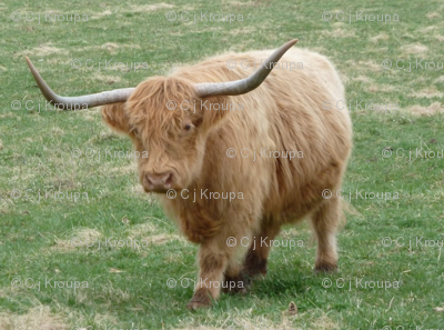 Highland Coo (Blonde)