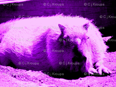 Hyrax Dreams (purple)