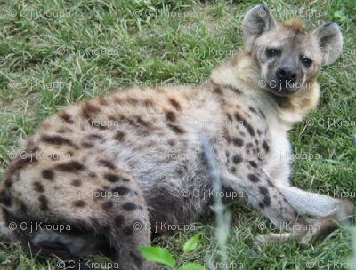 Who Woke the Hyena?