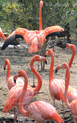 Flamingo Revue