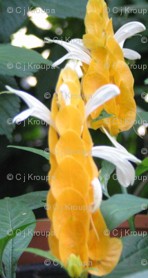 Yellow Shrimp Plant Chain