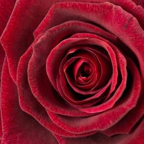 Rose_018 Red