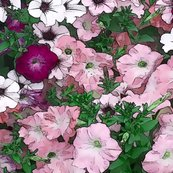 Petunias_red_1_shop_thumb