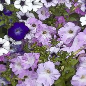 Petunias_blue_shop_thumb