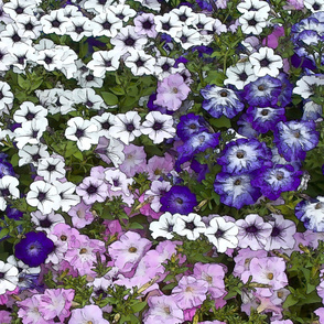 Petunias