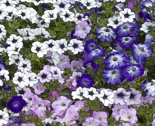 Petunias_blue_thumb