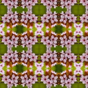 Cherry Blossoms_6210