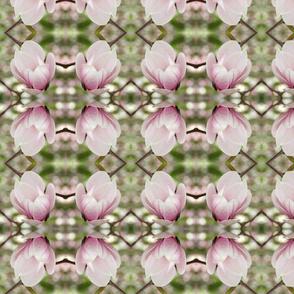 Magnolia Blossoms_2226