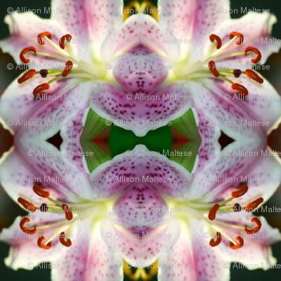 Rubrum Lily_3646