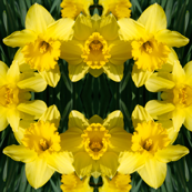 Daffodils_1832