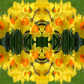 Daffodils_6373