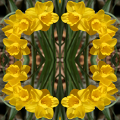 Daffodils_6465