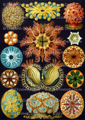 Ernst Haeckel Illustrations