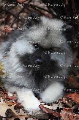 keeshond puppy pattern