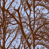 Rrrblue_tree_lace2_shop_thumb