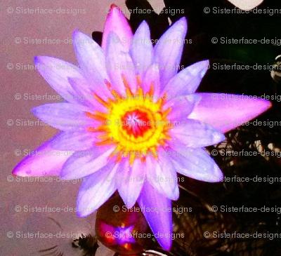 Lotus Blessings