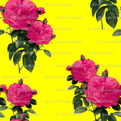 Redoute' Rose ~ Hot Pink and La! Yellow ~ Romp In The Garden