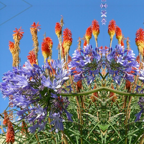 Red Hot Pokers & Purple Agapanthas