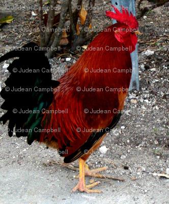 One key west Chicken