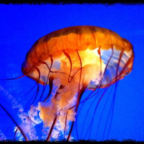 Jellyfish jelly