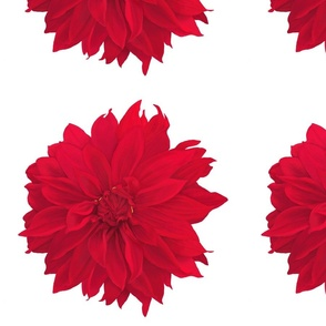 dahlia_red____8x8_for_spoonflower