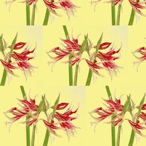 amaryllis on yellow