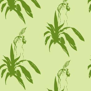 phragmipedium_in green