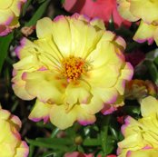 Rrmoss_rose_2484_shop_thumb