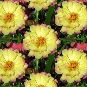 Yellow and Pink Moss Rose