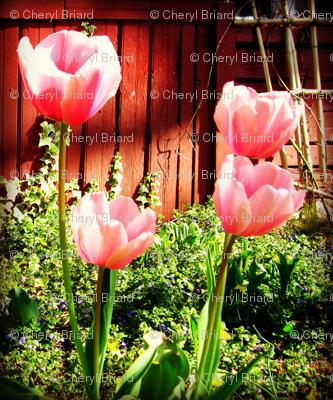 barn_tulips-ed-ed