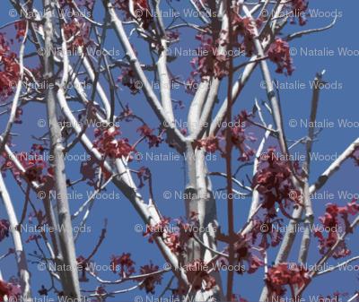 spring_maple