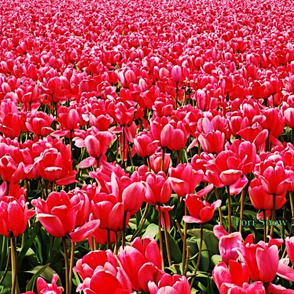 1_A_Pink_Tulips_ENH_proof