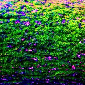 Lavender Bush 2013 P1020715