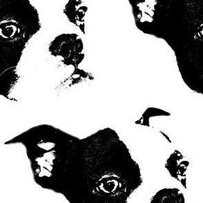 Boston Terrier Puppy Faces