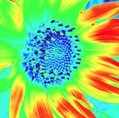Rrrsunflower_1_shop_thumb