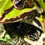 Rrrfrog-pond-7857_150_shop_thumb