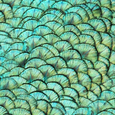 Peacocks Have Fab Pads ~ Reverse fabric by peacoquettedesigns on Spoonflower - custom fabric