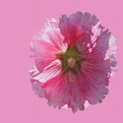 Rrhollyhock_on_pink_42_mended_use_100_dpi_shop_thumb